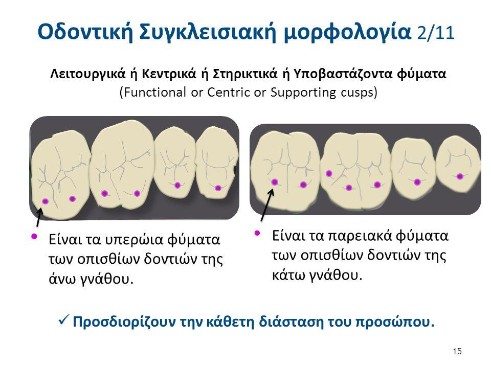 Είναι τα υπερώια φύματα των οπισθίων δοντιών της άνω γνάθου. Είναι τα παρειακά φύματα των οπισθίων δοντιών της κάτω γνάθου. Λειτουργικά ή Κεντρικά ή Σ