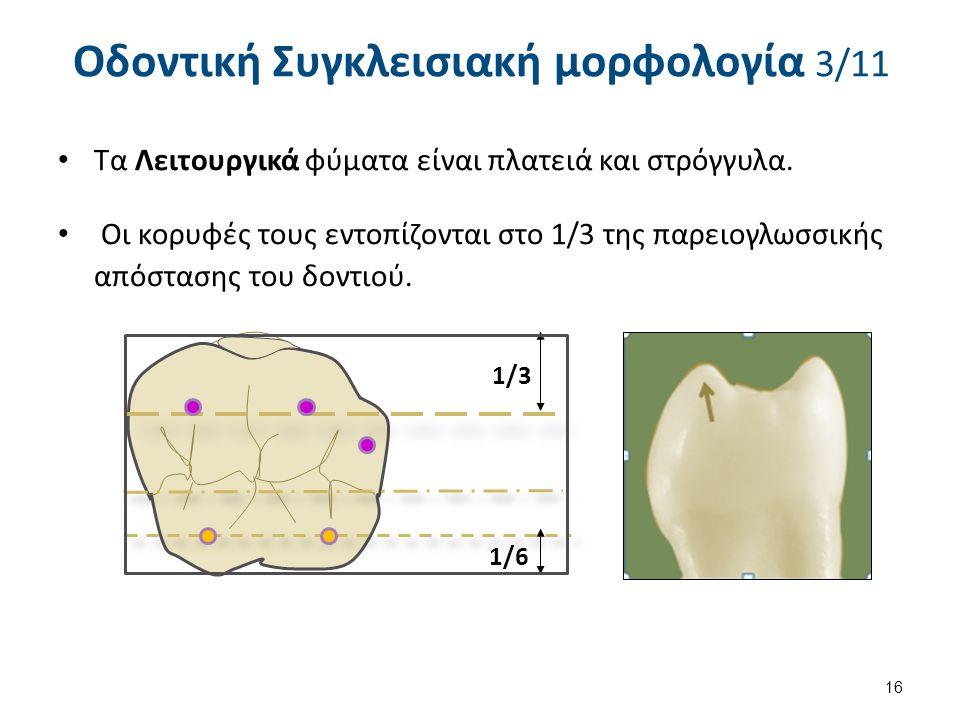 Τα Λειτουργικά φύματα είναι πλατειά και στρόγγυλα. Οι κορυφές τους εντοπίζονται στο 1/3 της παρειογλωσσικής απόστασης του δοντιού. 16 Οδοντική Συγκλει