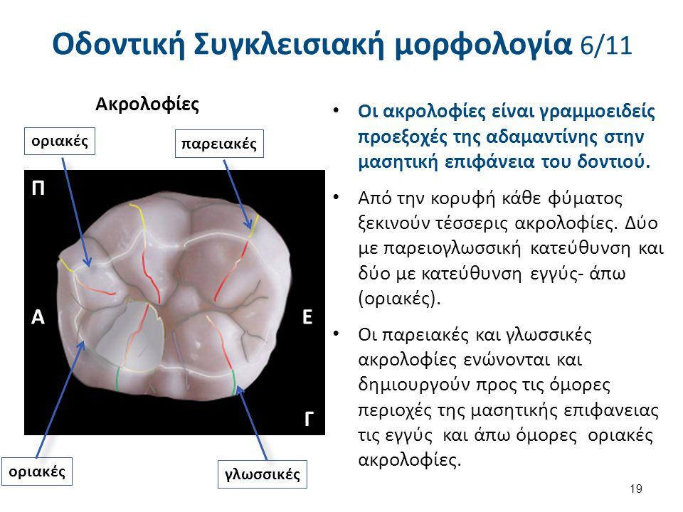 Οι ακρολοφίες είναι γραμμοειδείς προεξοχές της αδαμαντίνης στην μασητική επιφάνεια του δοντιού. Από την κορυφή κάθε φύματος ξεκινούν τέσσερις ακρολοφί