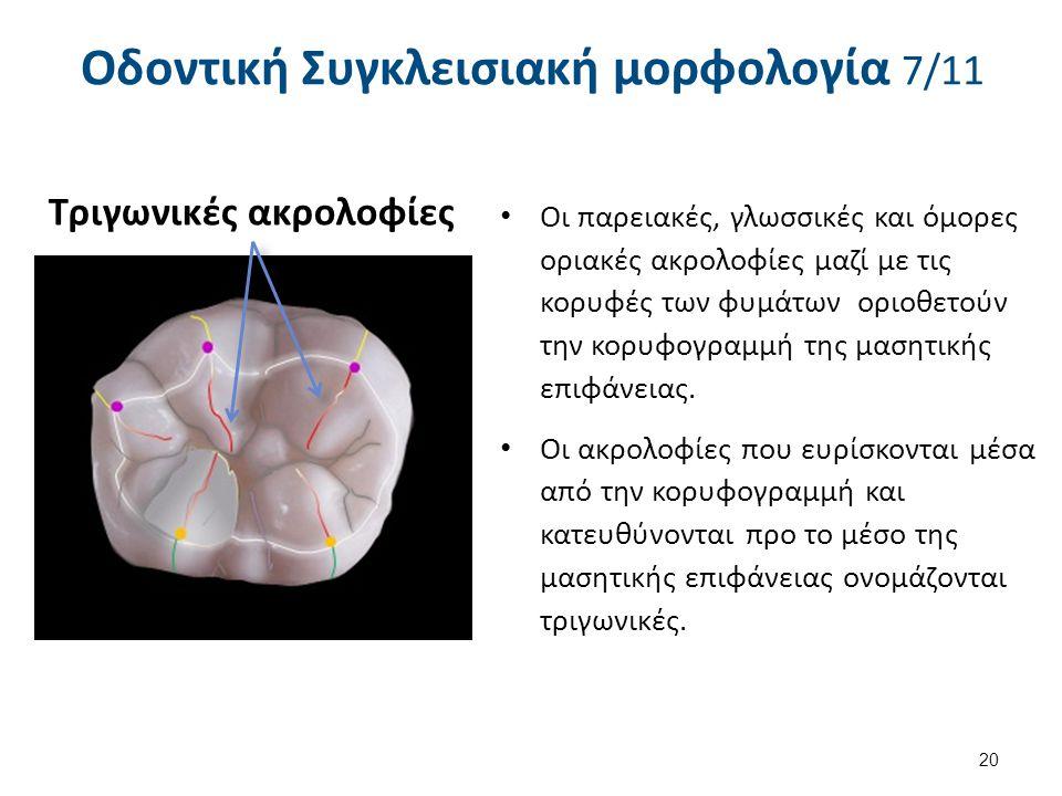 20 Οδοντική Συγκλεισιακή μορφολογία 7/11 Οι παρειακές, γλωσσικές και όμορες οριακές ακρολοφίες μαζί με τις κορυφές των φυμάτων οριοθετούν την κορυφογραμμή της μασητικής επιφάνειας.