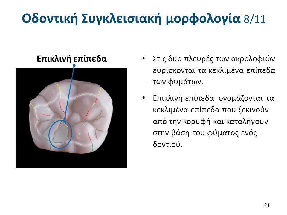 21 Οδοντική Συγκλεισιακή μορφολογία 8/11 Στις δύο πλευρές των ακρολοφιών ευρίσκονται τα κεκλιμένα επίπεδα των φυμάτων. Επικλινή επίπεδα ονομάζονται τα