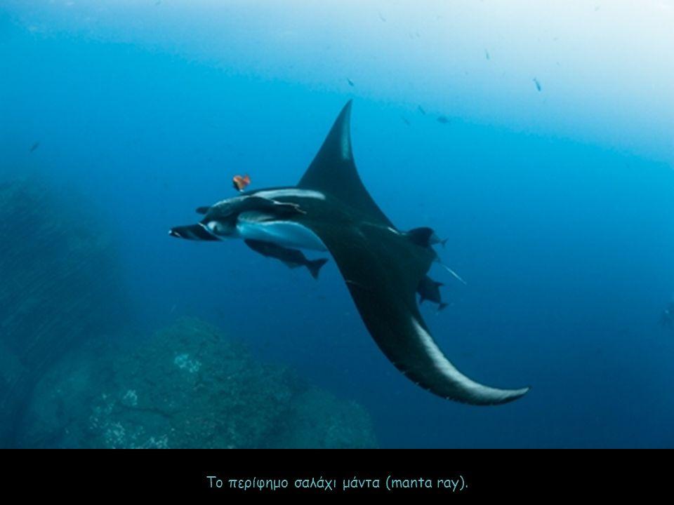 Το περίφημο σαλάχι μάντα (manta ray).