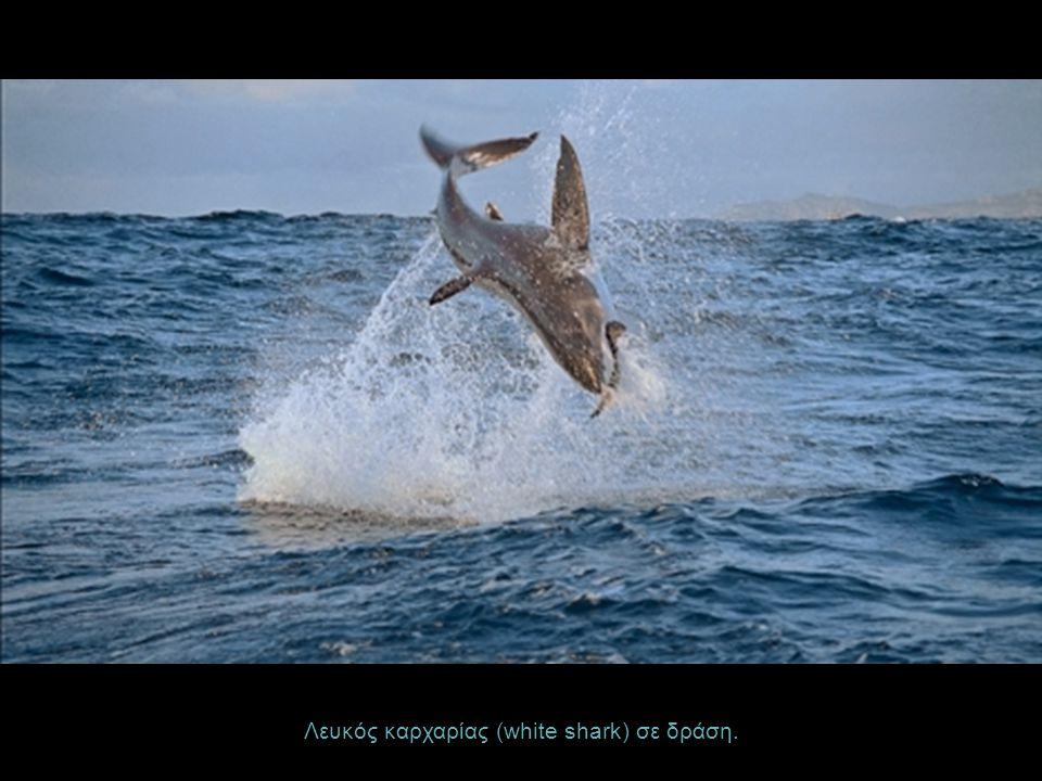 Λευκός καρχαρίας (white shark) σε δράση.