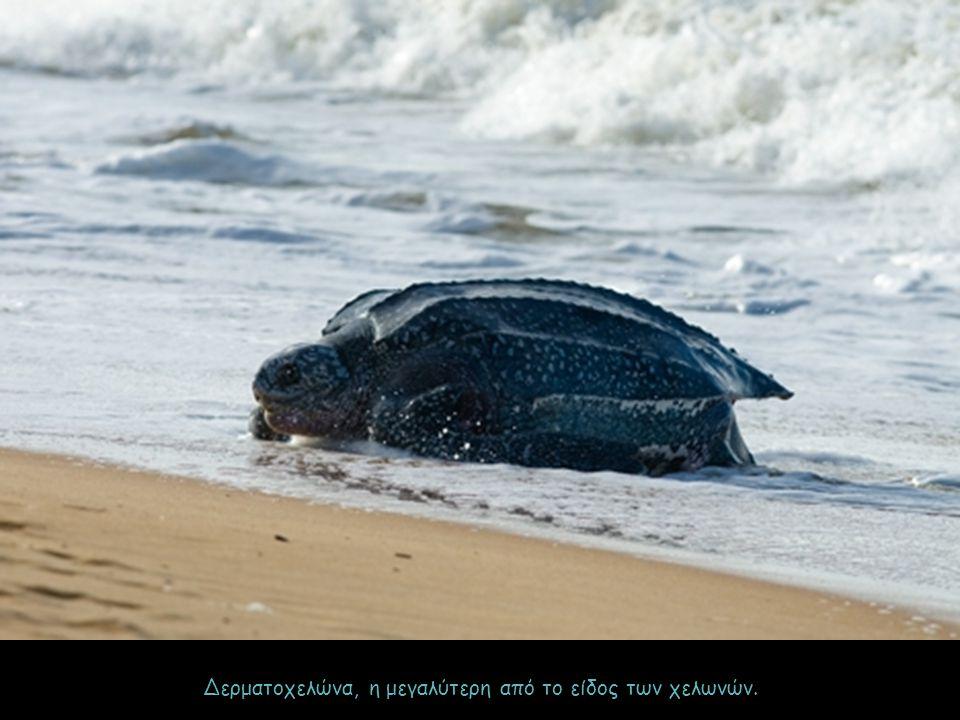 Δερματοχελώνα, η μεγαλύτερη από το είδος των χελωνών.