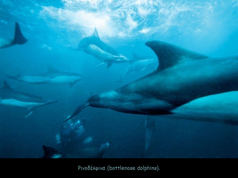 Ρινοδέλφινα (bottlenose dolphins).