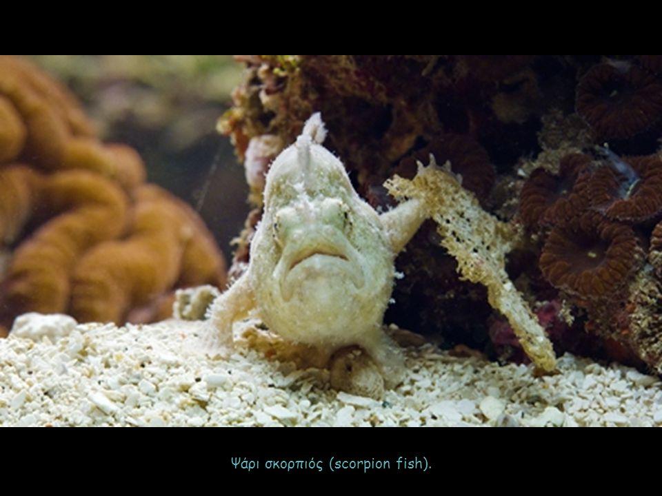 Ψάρι σκορπιός (scorpion fish).