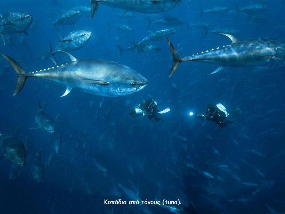 Κοπάδια από τόνους (tuna).