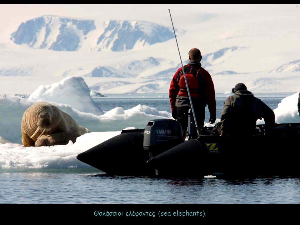 Θαλάσσιοι ελέφαντες (sea elephants).