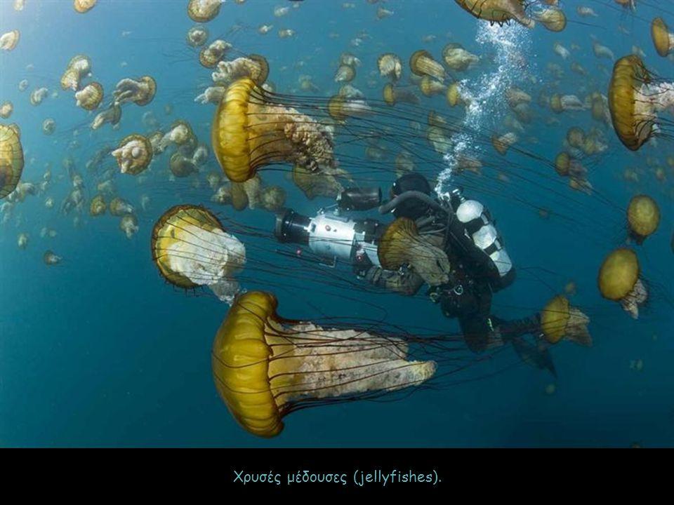 Χρυσές μέδουσες (jellyfishes).
