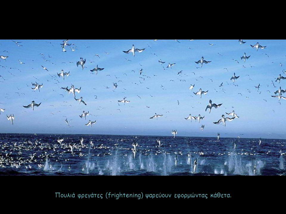 Πουλιά φρεγάτες (frightening) ψαρεύουν εφορμώντας κάθετα.