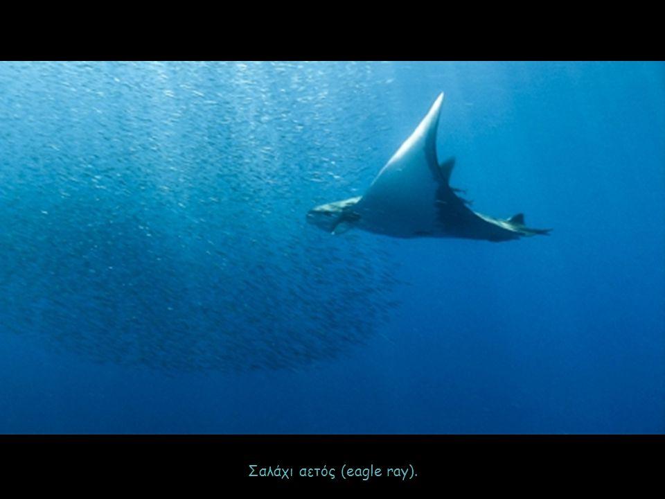 Σαλάχι αετός (eagle ray).