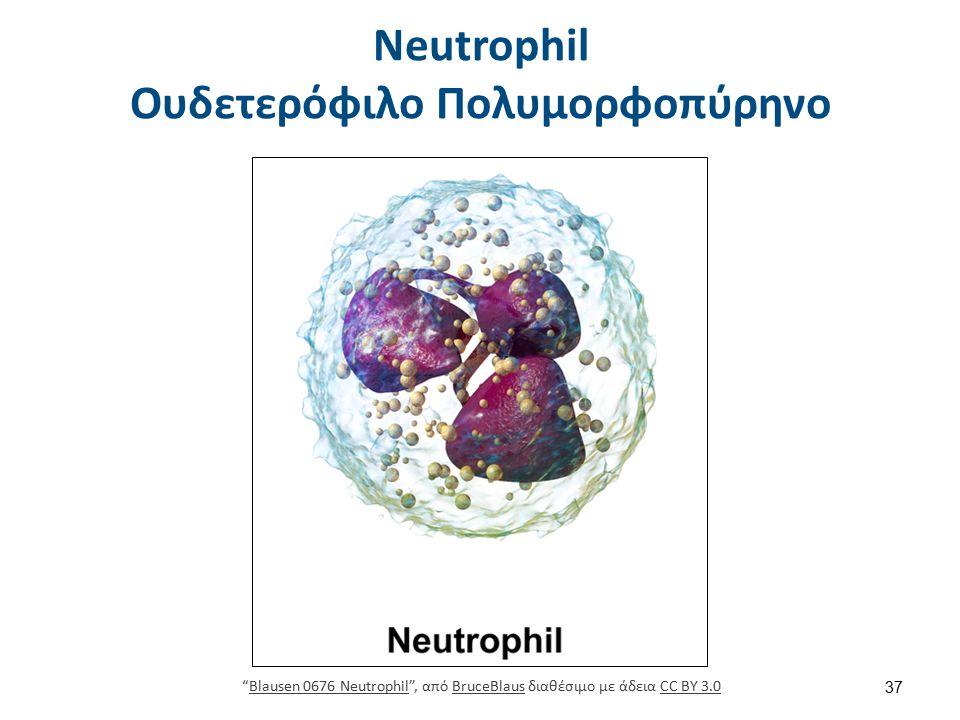 """Neutrophil Ουδετερόφιλο Πολυμορφοπύρηνο 37 """"Blausen 0676 Neutrophil"""", από BruceBlaus διαθέσιμο με άδεια CC BY 3.0Blausen 0676 NeutrophilBruceBlausCC B"""
