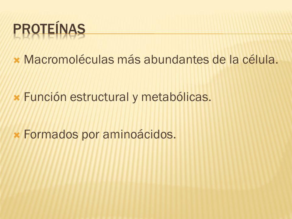  Macromoléculas más abundantes de la célula.  Función estructural y metabólicas.  Formados por aminoácidos.