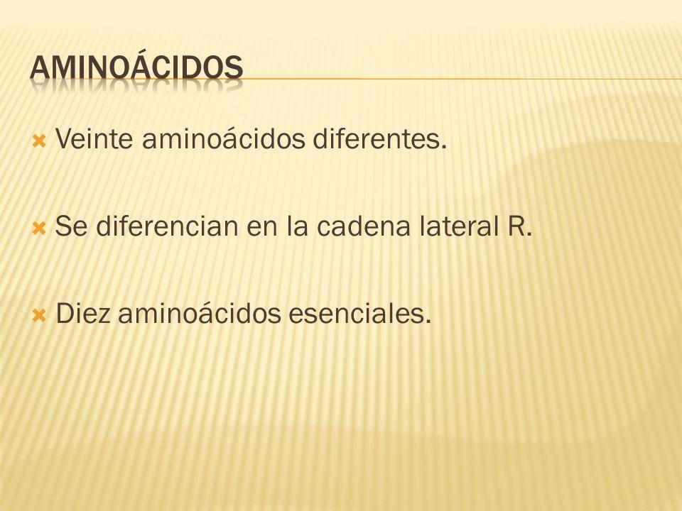  Veinte aminoácidos diferentes.  Se diferencian en la cadena lateral R.  Diez aminoácidos esenciales.