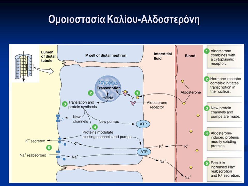 Ομοιοστασία Καλίου-Αλδοστερόνη Δράση αλδοστερόνης στα θεμέλια κύτταρα του αθροιστικού σωληναρίου: Δράση αλδοστερόνης στα θεμέλια κύτταρα του αθροιστικού σωληναρίου: Αυξάνει τον αριθμό των ανοικτών διαύλων Na + και K + στην αυλική επιφάνεια Αυξάνει τον αριθμό των ανοικτών διαύλων Na + και K + στην αυλική επιφάνεια Αυξάνει τη δραστηριότητα της Νa + -K + -ATPάσης στη βασικοπλάγια επιφάνεια Αυξάνει τη δραστηριότητα της Νa + -K + -ATPάσης στη βασικοπλάγια επιφάνεια Gennari FJ.