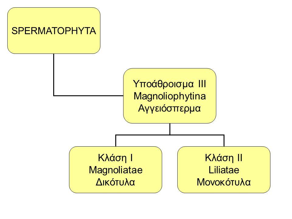 SPERMATOPHYTA Yποάθροισμα III Magnoliophytina Αγγειόσπερμα Κλάση Ι Magnoliatae Δικότυλα Κλάση ΙΙ Liliatae Μονοκότυλα