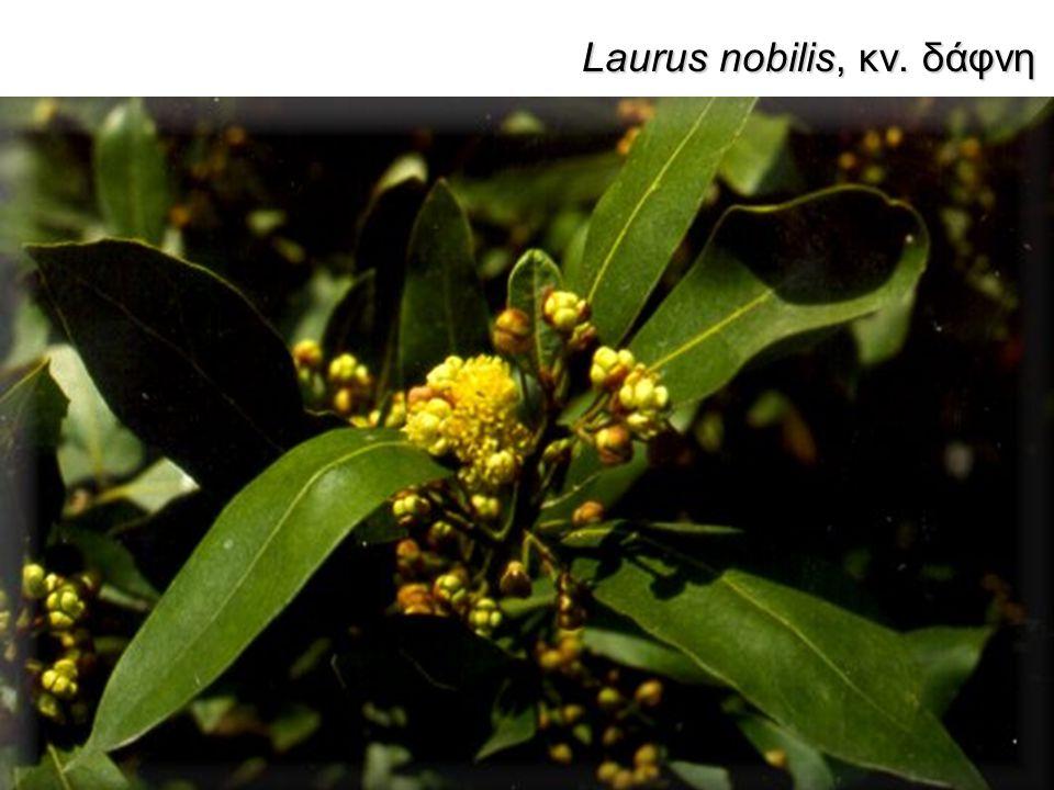 Laurus nobilis, κν. δάφνη