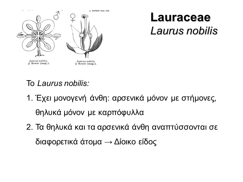 Lauraceae Laurus nobilis ♂ ♀ Το Laurus nobilis: 1.Έχει μονογενή άνθη: αρσενικά μόνον με στήμονες, θηλυκά μόνον με καρπόφυλλα 2.Τα θηλυκά και τα αρσενικά άνθη αναπτύσσονται σε διαφορετικά άτομα → Δίοικο είδος