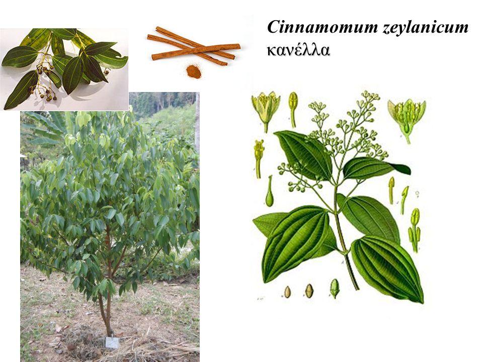 κανέλλα Cinnamomum zeylanicum κανέλλα