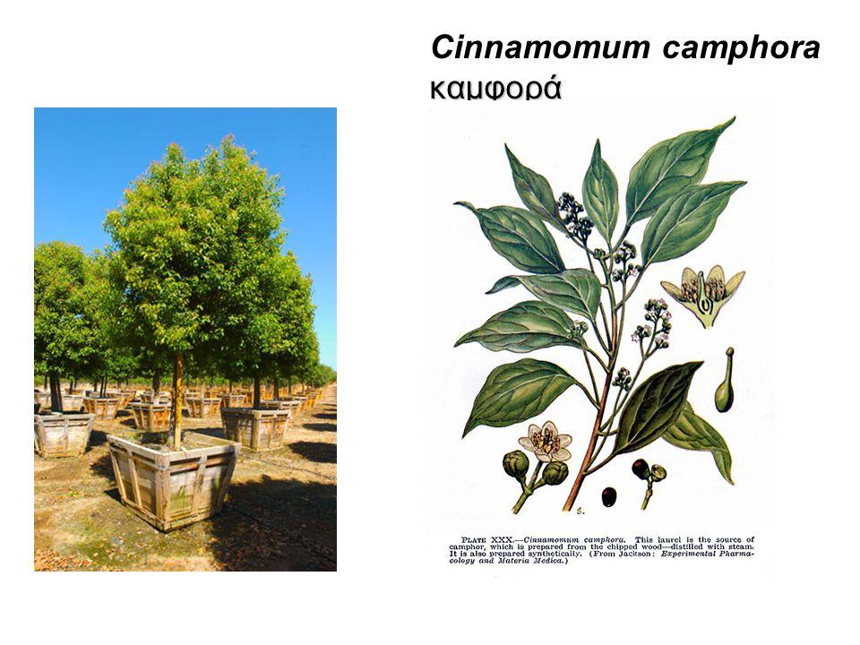 καμφορά Cinnamomum camphora καμφορά