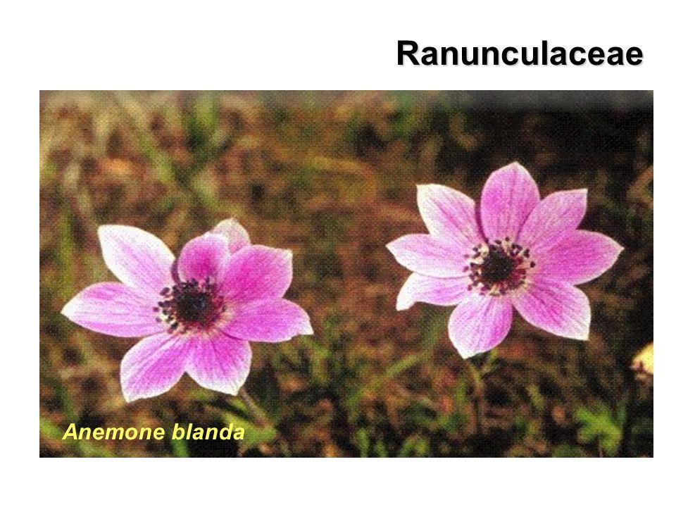 Ranunculaceae Anemone pavonina Anemone blanda