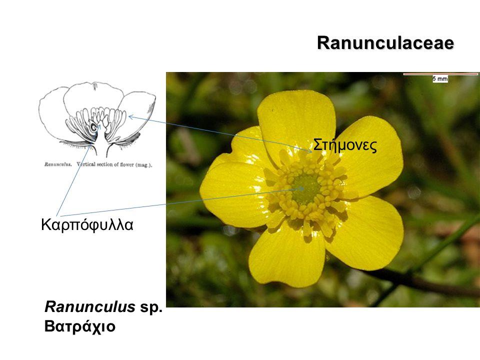 Ranunculaceae Anemone pavonina Ranunculus sp. Βατράχιο Καρπόφυλλα Στήμονες