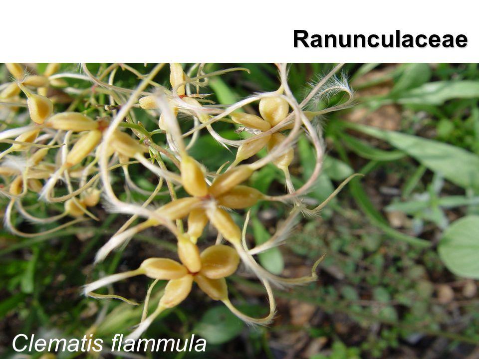 Ranunculaceae Clematis flammula