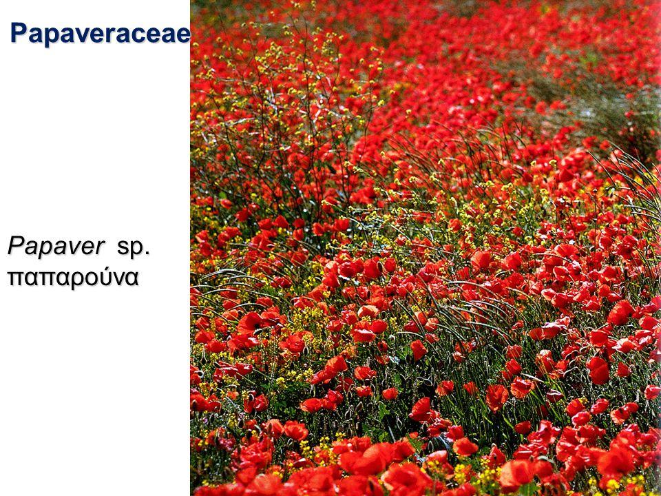 Papaveraceae Papaver sp. παπαρούνα