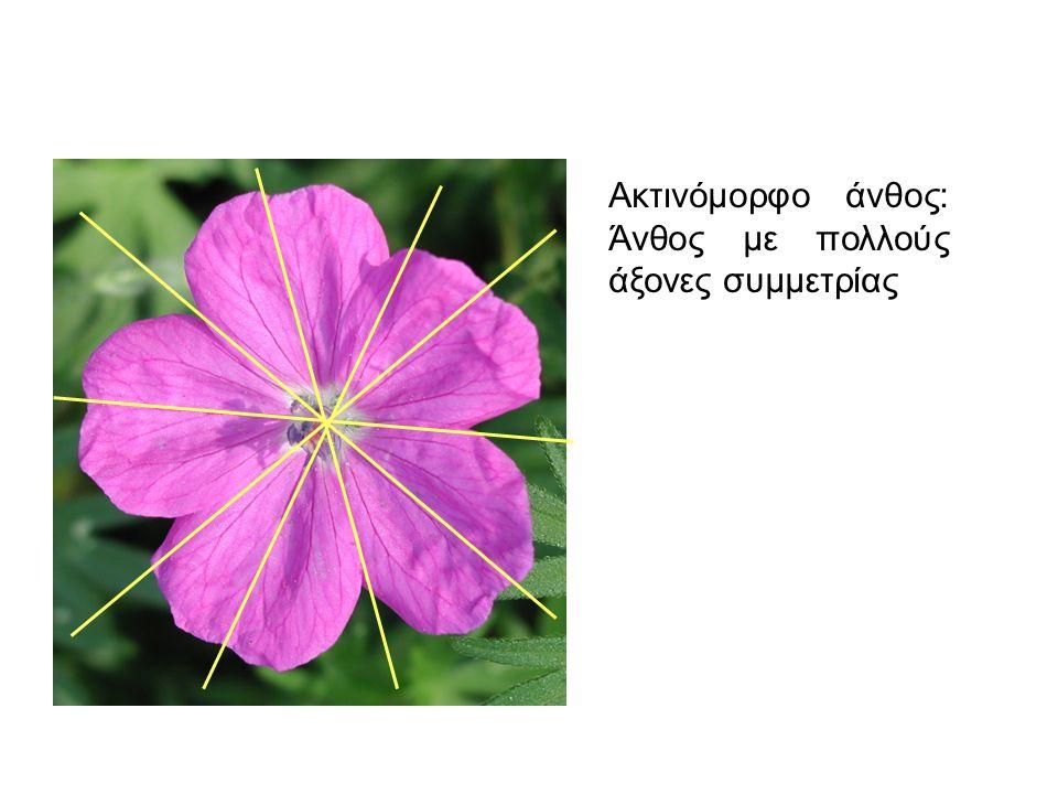 Ακτινόμορφο άνθος: Άνθος με πολλούς άξονες συμμετρίας