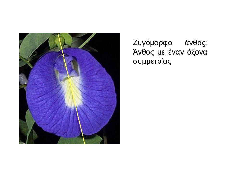 Ζυγόμορφο άνθος: Άνθος με έναν άξονα συμμετρίας