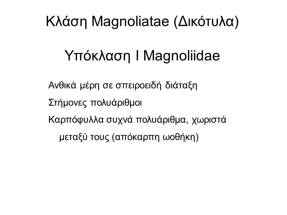Κλάση Magnoliatae (Δικότυλα) Υπόκλαση Ι Magnoliidae Ανθικά μέρη σε σπειροειδή διάταξη Στήμονες πολυάριθμοι Καρπόφυλλα συχνά πολυάριθμα, χωριστά μεταξύ τους (απόκαρπη ωοθήκη)