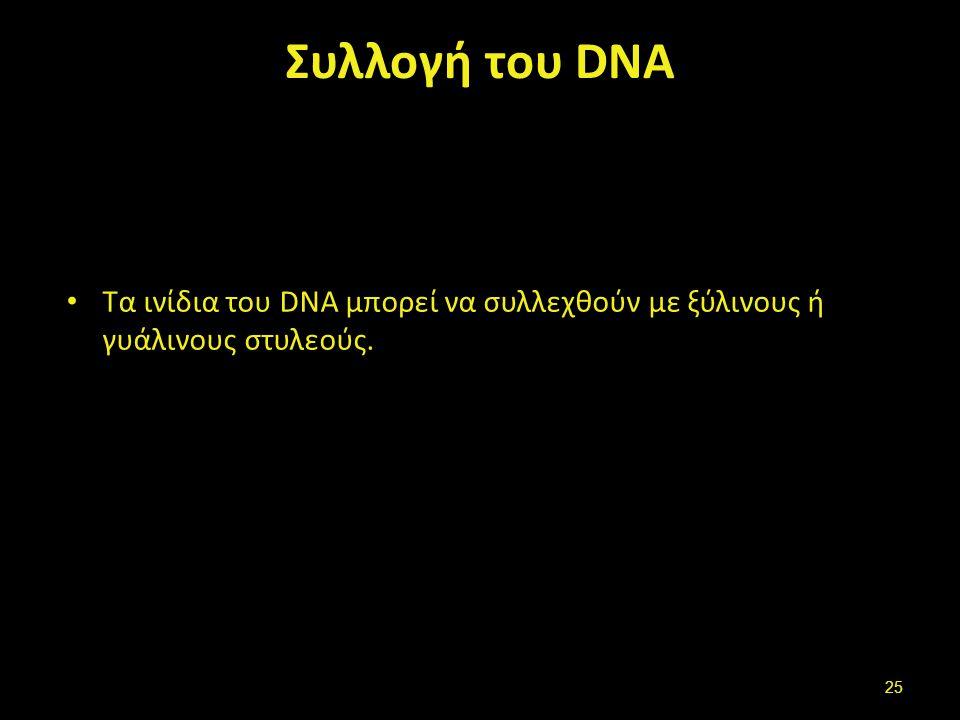 Συλλογή του DNA Τα ινίδια του DNA μπορεί να συλλεχθούν με ξύλινους ή γυάλινους στυλεούς. 25