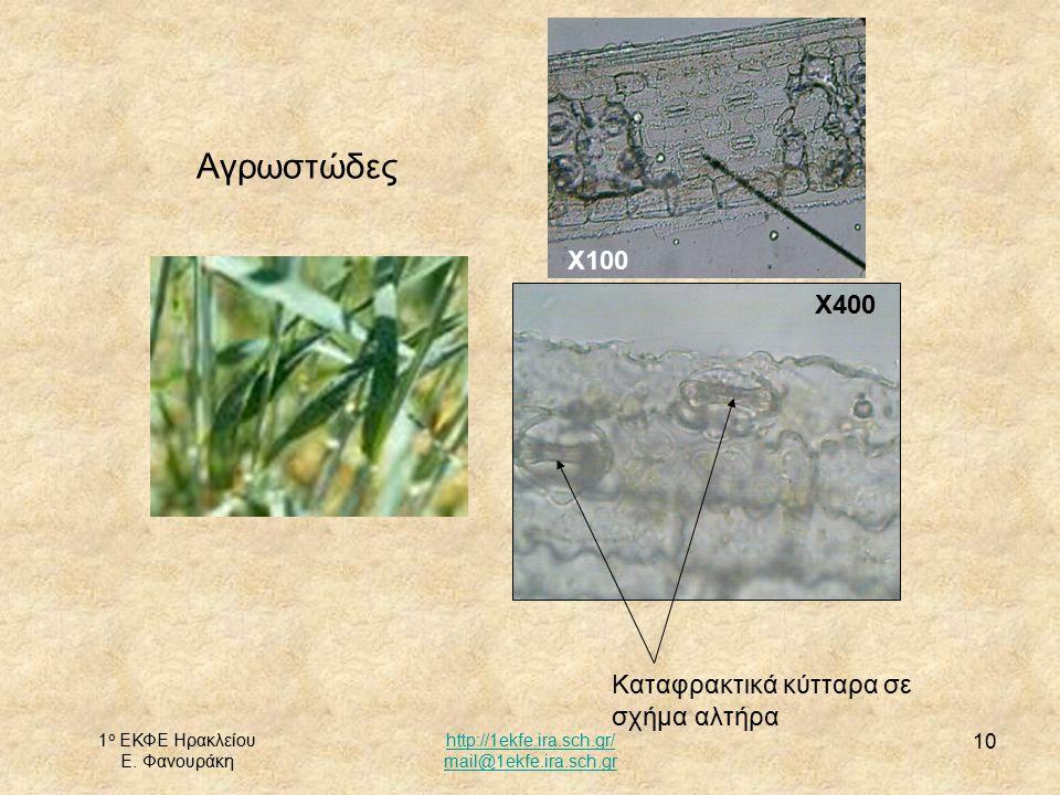 1 ο ΕΚΦΕ Ηρακλείου Ε. Φανουράκη http://1ekfe.ira.sch.gr/ mail@1ekfe.ira.sch.gr 10 Αγρωστώδες Χ100 Καταφρακτικά κύτταρα σε σχήμα αλτήρα Χ400