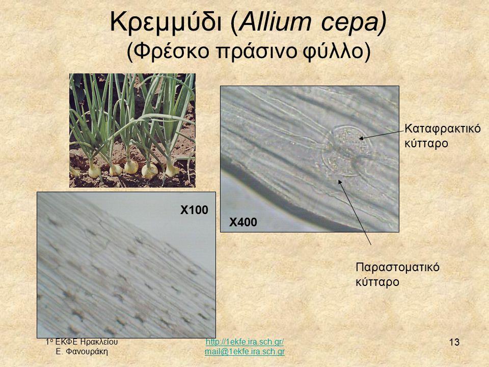 1 ο ΕΚΦΕ Ηρακλείου Ε. Φανουράκη http://1ekfe.ira.sch.gr/ mail@1ekfe.ira.sch.gr 13 Κρεμμύδι (Allium cepa) (Φρέσκο πράσινο φύλλο) Χ100 Καταφρακτικό κύττ