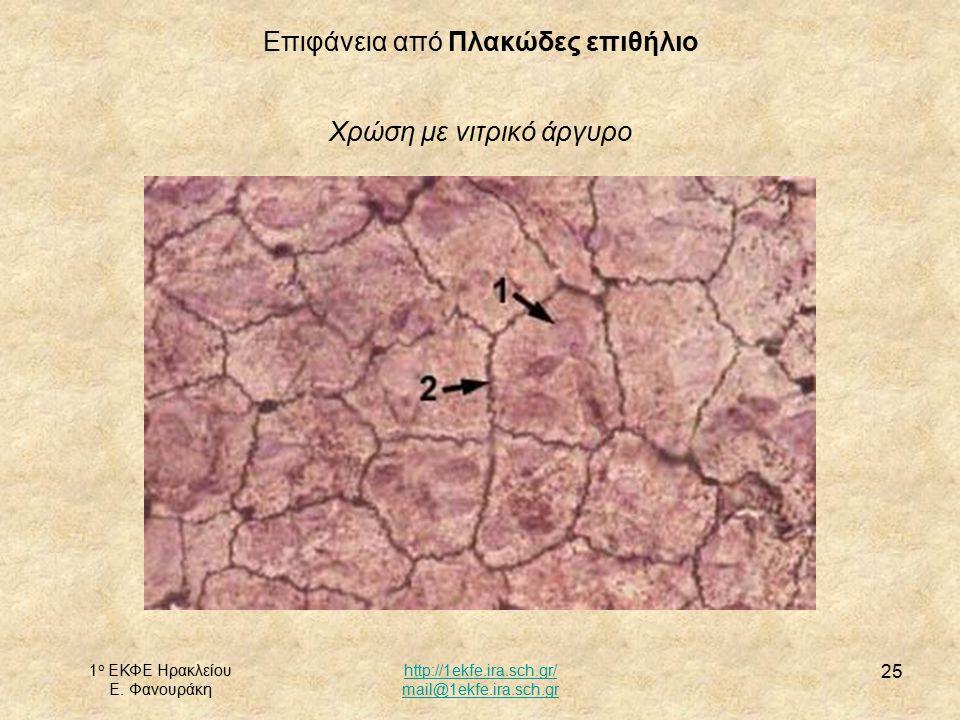 1 ο ΕΚΦΕ Ηρακλείου Ε. Φανουράκη http://1ekfe.ira.sch.gr/ mail@1ekfe.ira.sch.gr 25 Επιφάνεια από Πλακώδες επιθήλιο Χρώση με νιτρικό άργυρο