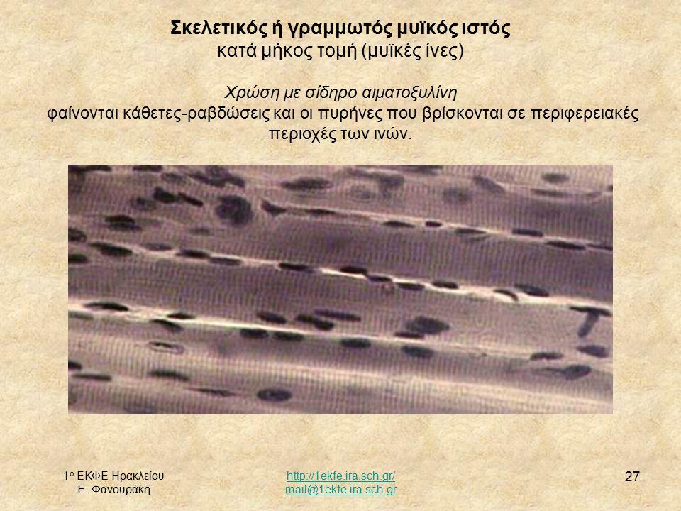 1 ο ΕΚΦΕ Ηρακλείου Ε. Φανουράκη http://1ekfe.ira.sch.gr/ mail@1ekfe.ira.sch.gr 27 Σκελετικός ή γραμμωτός μυϊκός ιστός κατά μήκος τομή (μυϊκές ίνες) Χρ