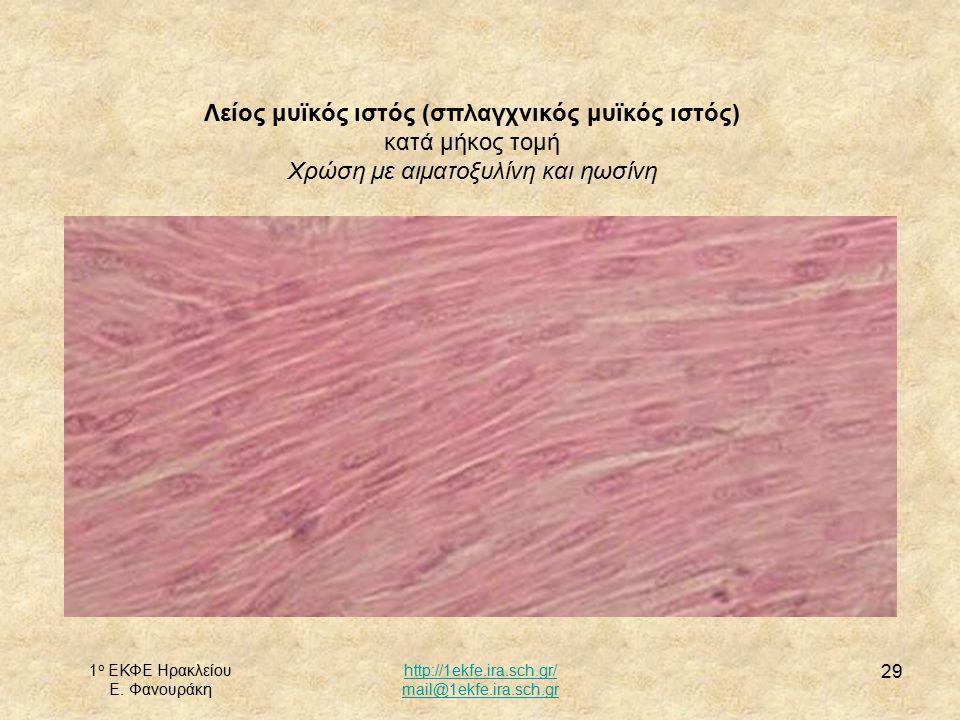1 ο ΕΚΦΕ Ηρακλείου Ε. Φανουράκη http://1ekfe.ira.sch.gr/ mail@1ekfe.ira.sch.gr 29 Λείος μυϊκός ιστός (σπλαγχνικός μυϊκός ιστός) κατά μήκος τομή Χρώση