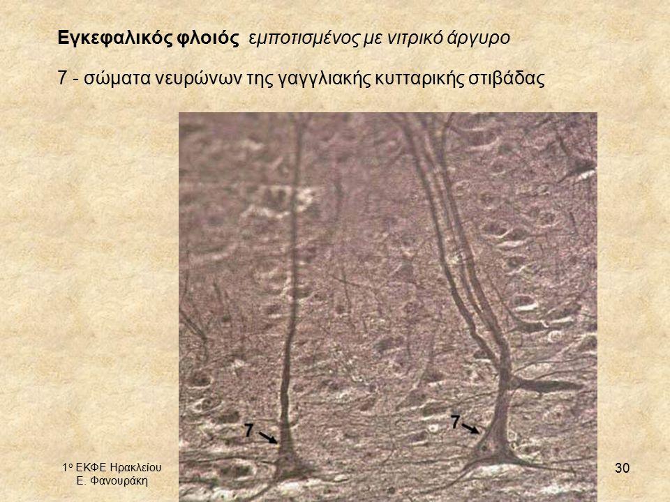 1 ο ΕΚΦΕ Ηρακλείου Ε. Φανουράκη http://1ekfe.ira.sch.gr/ mail@1ekfe.ira.sch.gr 30 Εγκεφαλικός φλοιός εμποτισμένος με νιτρικό άργυρο 7 - σώματα νευρώνω