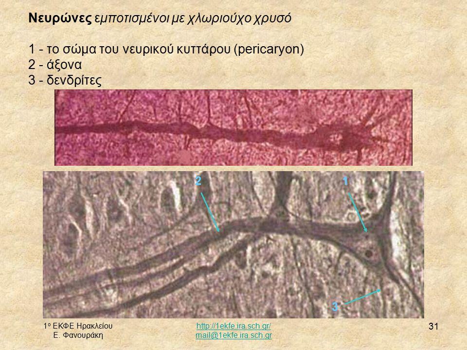 1 ο ΕΚΦΕ Ηρακλείου Ε. Φανουράκη http://1ekfe.ira.sch.gr/ mail@1ekfe.ira.sch.gr 31 Νευρώνες εμποτισμένοι με χλωριούχο χρυσό 1 - το σώμα του νευρικού κυ