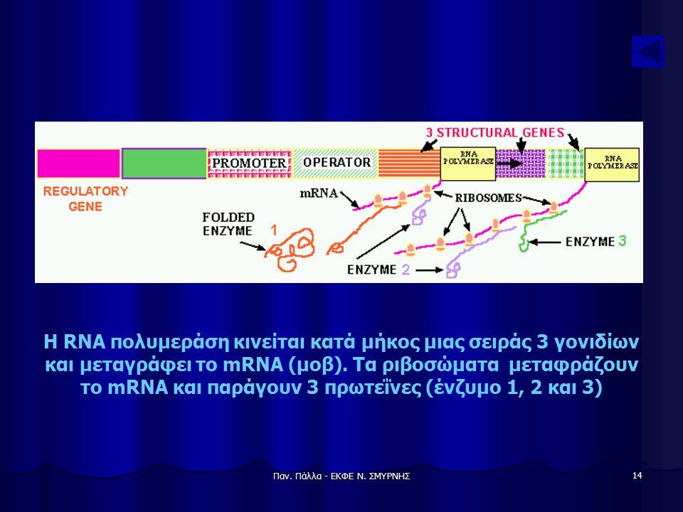 Παν. Πάλλα - ΕΚΦΕ Ν. ΣΜΥΡΝΗΣ 14 Η RNA πολυμεράση κινείται κατά μήκος μιας σειράς 3 γονιδίων και μεταγράφει το mRNA (μοβ). Τα ριβοσώματα μεταφράζουν το