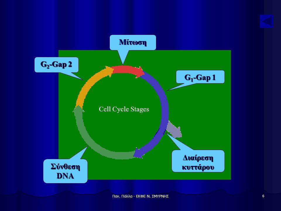 Παν. Πάλλα - ΕΚΦΕ Ν. ΣΜΥΡΝΗΣ 6 Μίτωση Σύνθεση DNA Διαίρεση κυττάρου G 1 -Gap 1 G 2 -Gap 2 Cell Cycle Stages