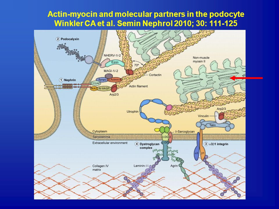 Actin-myocin and molecular partners in the podocyte Winkler CA et al.