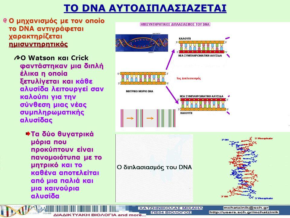 ΤΟ DNA ΑΥΤΟΔΙΠΛΑΣΙΑΖΕΤΑΙ O μηχανισμός με τον οποίο το DNA αντιγράφεται χαρακτηρίζεται ημισυντηρητικός φαντάστηκαν μια διπλή έλικα η οποία ξετυλίγεται καικάθε αλυσίδα λειτουργεί σαν καλούπι για την σύνθεση μιας νέας συμπληρωματικής αλυσίδας Ο Watson και Crick φαντάστηκαν μια διπλή έλικα η οποία ξετυλίγεται και κάθε αλυσίδα λειτουργεί σαν καλούπι για την σύνθεση μιας νέας συμπληρωματικής αλυσίδας Τα δύο θυγατρικά μόρια που προκύπτουν είναι πανομοιότυπα με το μητρικόκαι το καθένα αποτελείται από μια παλιά και μια καινούρια αλυσίδα Τα δύο θυγατρικά μόρια που προκύπτουν είναι πανομοιότυπα με το μητρικό και το καθένα αποτελείται από μια παλιά και μια καινούρια αλυσίδα