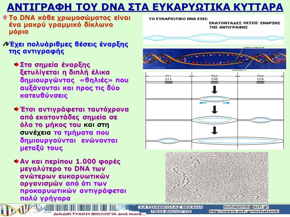 ΑΝΤΙΓΡΑΦΗ ΤΟΥ DNA ΣΤΑ ΕΥΚΑΡΥΩΤΙΚΑ ΚΥΤΤΑΡΑ Το DNA κάθε χρωμοσώματος είναι ένα μακρύ γραμμικό δίκλωνο μόριο Έχει πολυάριθμες θέσεις έναρξης της αντιγραφής Στα σημεία έναρξης ξετυλίγεται η διπλή έλικα δημιουργώντας «θηλιές» που αυξάνονται και προς τις δύο κατευθύνσεις Έτσι αντιγράφεται ταυτόχρονα από εκατοντάδες σημεία σε όλο το μήκος του τα τμήματα που δημιουργούνται ενώνονται μεταξύ τους Έτσι αντιγράφεται ταυτόχρονα από εκατοντάδες σημεία σε όλο το μήκος του και στη συνέχεια τα τμήματα που δημιουργούνται ενώνονται μεταξύ τους Αν και περίπου 1.000 φορές μεγαλύτερο το DNA των ανώτερων ευκαρυωτικών οργανισμών από ότι των προκαρυωτικών αντιγράφεται πολύ γρήγορα