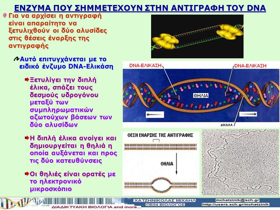 ΕΝΖΥΜΑ ΠΟΥ ΣHΜΜΕΤΕΧΟΥΝ ΣΤΗΝ ΑΝΤΙΓΡΑΦΗ ΤΟΥ DNA Για να αρχίσει η αντιγραφή είναι απαραίτητο να ξετυλιχθούν οι δύο αλυσίδες στις θέσεις έναρξης της αντιγραφής Αυτό επιτυγχάνεται με το ειδικό ένζυμο DNA-Ελικάση Ξετυλίγει την διπλή έλικα, σπάζει τους δεσμούς υδρογόνου μεταξύ των συμπληρωματικών αζωτούχων βάσεων των δύο αλυσίδων Η διπλή έλικα ανοίγει και δημιουργείται η θηλιά η οποία αυξάνεται και προς τις δύο κατευθύνσεις Οι θηλιές είναι ορατές με το ηλεκτρονικό μικροσκόπιο
