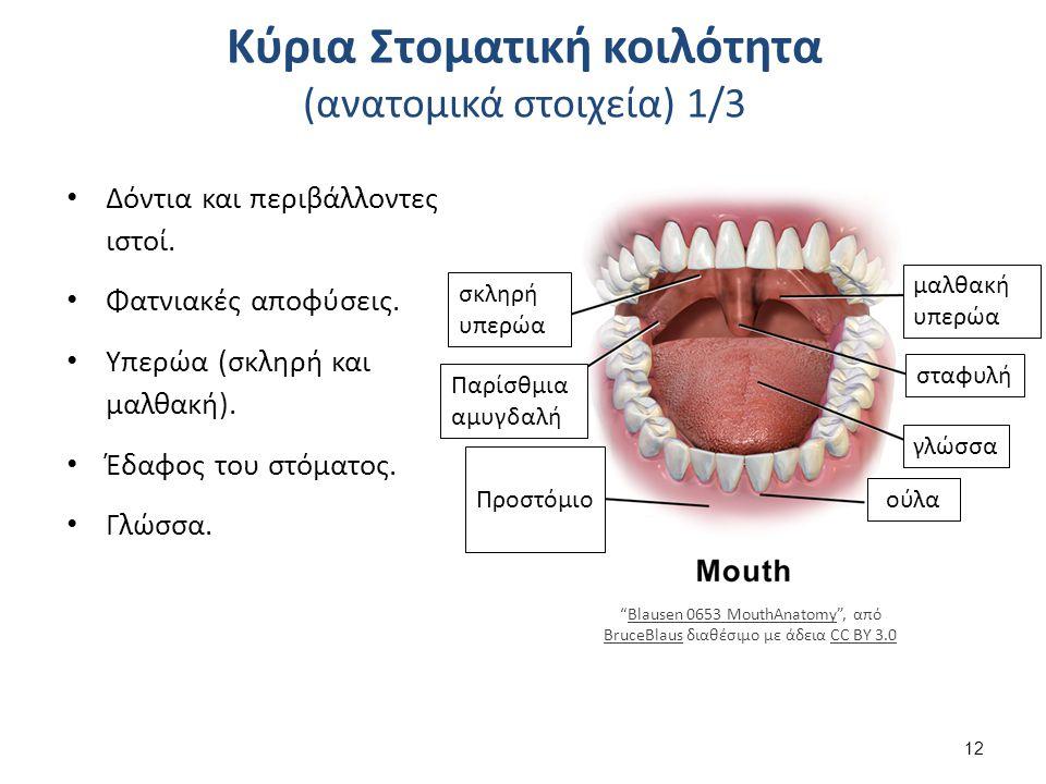 Κύρια Στοματική κοιλότητα (ανατομικά στοιχεία) 1/3 Δόντια και περιβάλλοντες ιστοί. Φατνιακές αποφύσεις. Υπερώα (σκληρή και μαλθακή). Έδαφος του στόματ