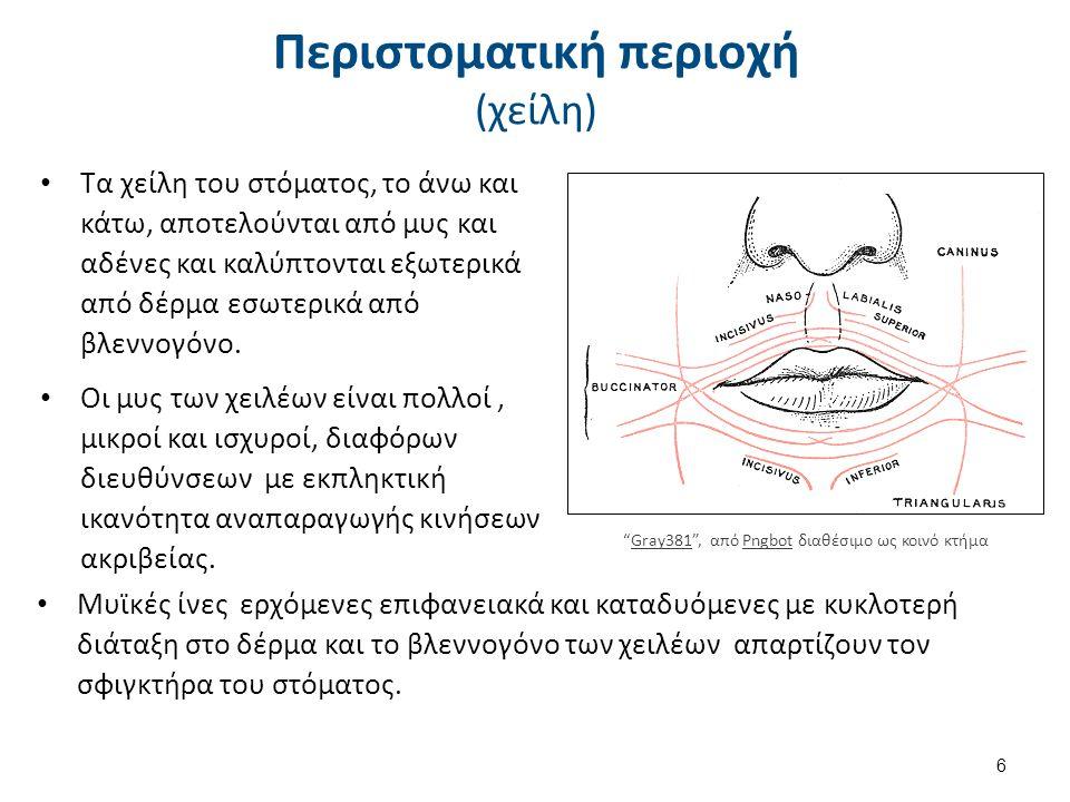 Περιστοματική περιοχή (χείλη) Τα χείλη του στόματος, το άνω και κάτω, αποτελούνται από μυς και αδένες και καλύπτονται εξωτερικά από δέρμα εσωτερικά απ