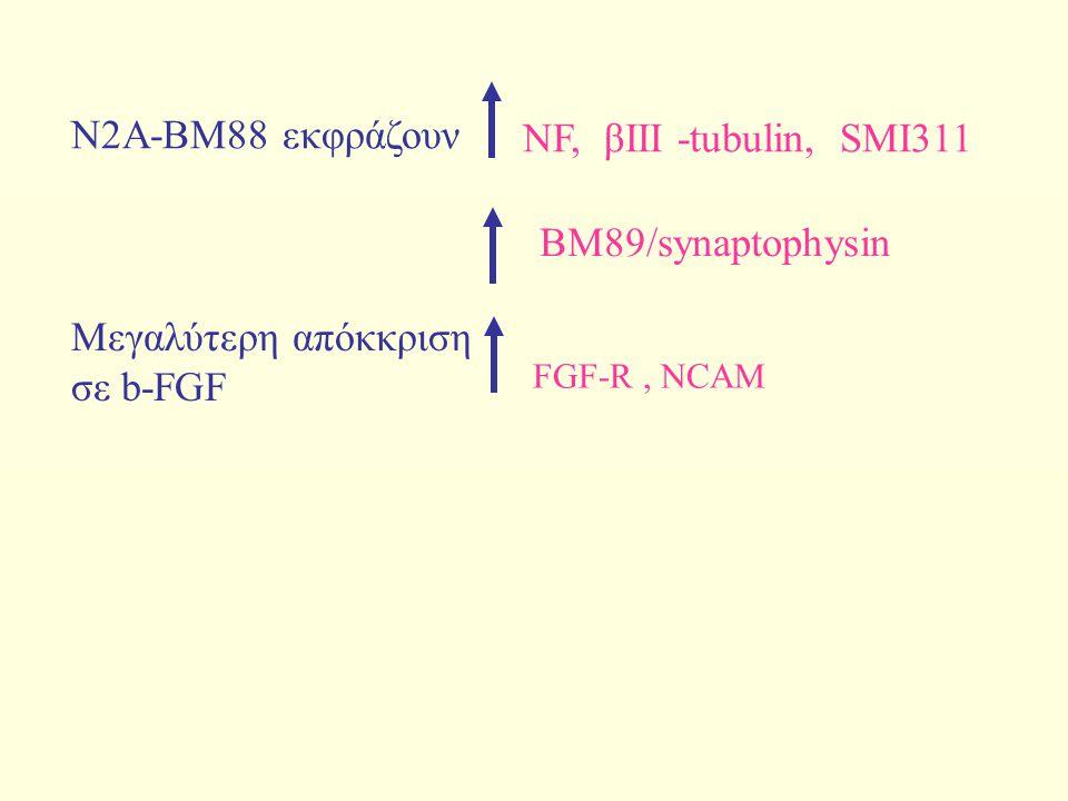 Ν2Α-ΒΜ88 εκφράζουν NF, βIII -tubulin, SMI311 BM89/synaptophysin Μεγαλύτερη απόκκριση σε b-FGF FGF-R, NCAM