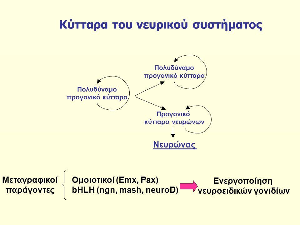 Κύτταρα του νευρικού συστήματος Προγονικό κύτταρο νευρώνων Νευρώνας Πολυδύναμο προγονικό κύτταρο Πολυδύναμο προγονικό κύτταρο Μεταγραφικοί παράγοντες Ομοιοτικοί (Emx, Pax) bHLH (ngn, mash, neuroD) Ενεργοποίηση νευροειδικών γονιδίων