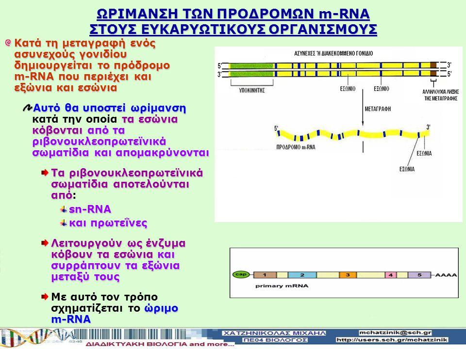 ΑΣΝΕΧΗ Ή ΔΙΑΚΕΚΟΜΜΕΝΑ ΓΟΝΙΔΙΑ ΣΤΟΥΣ ΕΥΚΑΡΥΩΤΙΚΟΥΣ ΟΡΓΑΝΙΣΜΟΥΣ Τα περισσότερα γονίδια των ευκαρυωτικών οργανισμών και των ιών που τους προσβάλουν είναι ασυνεχή ή διακεκομμένα Ηαλληλουχία που μεταφράζεται σε αμινοξέαδιακόπτεται από ενδιάμεσες αλληλουχίες οι οποίες δεν μεταφράζονται σε αμινοξέα Η αλληλουχία που μεταφράζεται σε αμινοξέα διακόπτεται από ενδιάμεσες αλληλουχίες οι οποίες δεν μεταφράζονται σε αμινοξέα Οι αλληλουχίες που μεταφράζονται σε αμινοξέα ονομάζονται εξώνια Οι ενδιάμεσες αλληλουχίες που δεν μεταφράζονταισε αμινοξέα ονομάζονταιεσώνια Οι ενδιάμεσες αλληλουχίες που δεν μεταφράζονται σε αμινοξέα ονομάζονται εσώνια
